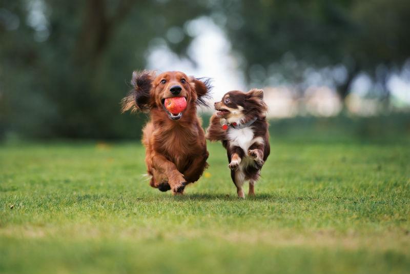 כלבים משחקים בגינת כלבים על דשא