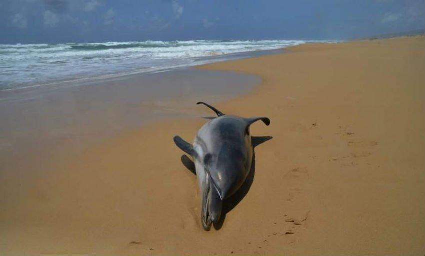 גופת דולפינה שנפלטה לחוף, גם ממנה לומדים המון (צילום: רן פ')