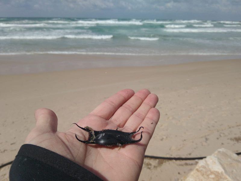 ביצת החתול שהתגלתה מול חופי בת ים. צילום: רוני זיו