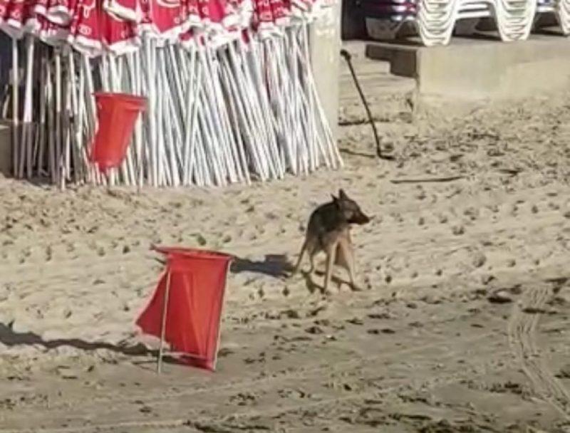הכלב שתועד על ידי הפקח