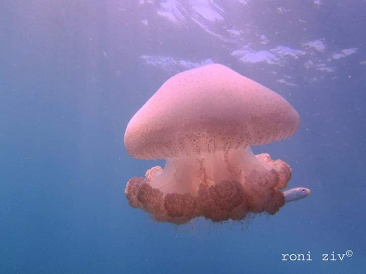 מדוזה בחוף בת ים (צילום: רוני זיו)
