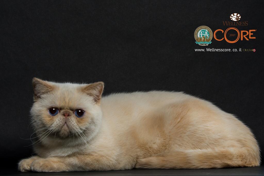 חתול אקזוטי. צילום: אולג לנקו
