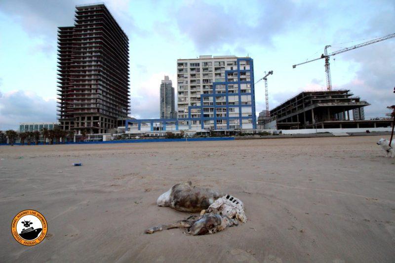 פגר של טלה בחוף בת ים